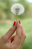 Hand holding dandelion. Girl's hand with red nails holding dandelion Royalty Free Stock Image