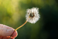 Hand holding dandelion Royalty Free Stock Photography