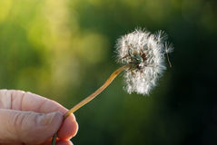 Hand holding dandelion Royalty Free Stock Photo