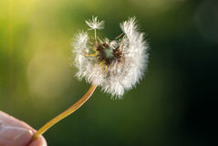 Hand holding dandelion Royalty Free Stock Images