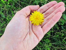 Hand holding a dandelion Stock Photo
