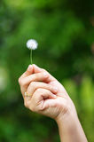 Hand holding a dandelion. Woman hand holding a small dandelion Royalty Free Stock Photo