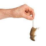 Hand holding a dead mouse, isolated Royalty Free Stock Image
