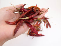Hand holding Dried chili peppers. On white background Stock Image