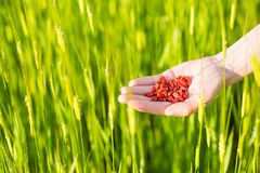 Hand holding dried goji berries against green field stock image