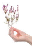 Hand holding dry heather Stock Images