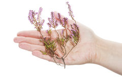 Hand holding dry heather Stock Photo