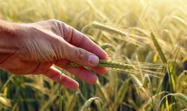 Hand holding the ear of barley. Royalty Free Stock Images