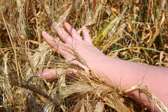 Hand holding ears of wheat Royalty Free Stock Photography