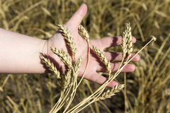 Hand holding ears of wheat Royalty Free Stock Photos
