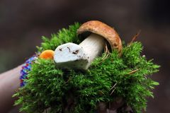 Hand holding edible boletus mushroom and tuft of green moss Royalty Free Stock Photography
