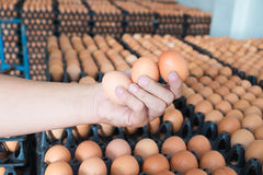 Hand holding eggs from chicken farm on lot of egg in the package. Background. that preserved for sale in wholesale market Stock Photos