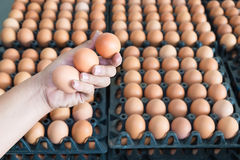 Hand holding eggs from chicken farm on lot of egg in the package. Background. that preserved for sale in wholesale market Stock Images