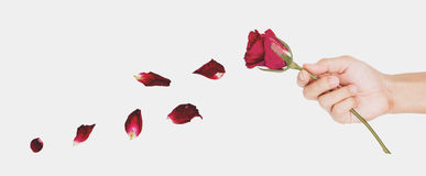 Hand holding faded blowing rose flower, abstract love concept Stock Photography
