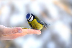 Hand Holding Feeding Blue tit (Paridae) Royalty Free Stock Photography