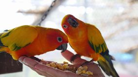 Hand Holding and Feeding Parrots - Animal Care stock footage