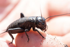Hand holding field cricket outdoors. Gryllus campestris Stock Photography