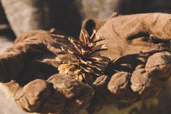 Hand holding Fir cone Royalty Free Stock Image