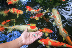 Hand holding fish food Royalty Free Stock Images