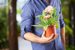 Hand holding flower pot with gerbera. Hand of a man holding a flower pot with gerbera royalty free stock photo