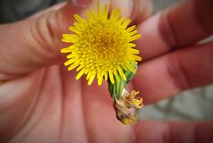 Hand holding flower stock image
