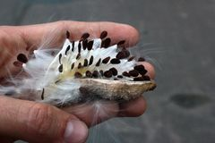 Hand holding a follicle with seeds of milkweed. Asclepias syriaca stock photo