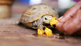 The hand is holding food for the little turtle fed at home. The little turtle is eating a delicious orange by itself stock photo