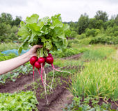Hand holding fresh bunch of radish. On green field background Royalty Free Stock Photo