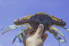 Hand holding fresh crab with blue sky. Background Stock Photography