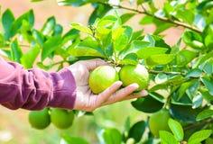 Hand holding fresh lemon on the tree Stock Image