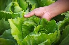 Hand holding Fresh lettuce Stock Photography