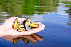 Hand holding fresh mussels, shallow focus. River background whater with reflections Royalty Free Stock Image