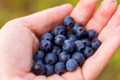 Hand Holding Fresh Picked Blueberries Royalty Free Stock Photography