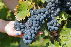 Hand Holding Fresh Red Bunch of Grapes in the Vineyard. Vineyards at in Autumn Harvest. Hand Holding Fresh Red Bunch of Grapes in the Vineyard. Vineyards at in stock photography