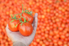 Hand holding fresh red tomatoes Stock Photo
