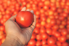 Hand holding fresh red tomatoes Royalty Free Stock Photo