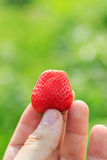 Hand holding fresh strawberry Stock Photography