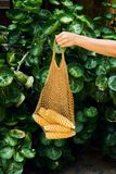 Hand Holding Fresh Sweet Corn in Eco Net Bag. Summer Agriculture Harvest on Green Leaf Background. Yellow Whole Maize Ear Healthy Organic Golden Grain for stock images