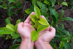 Hand holding a fresh tea leaf on tea plantation Royalty Free Stock Images