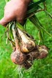 Hand holding freshly dug onion bulbs royalty free stock photography