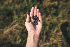 Hand holding freshly gathered blueberry in summer mountains. Tasty picked organic berries. Summer vacation in mountains royalty free stock image