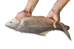 Hand holding freshwater fish isolated on white background. File contains a clipping path. Probarbus jullieni Stock Images
