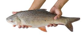 Hand holding freshwater fish isolated on white background. Hand holding freshwater fish isolated on white background, File contains a clipping path. Probarbus Royalty Free Stock Photos