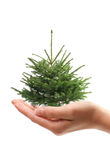 Hand holding fur tree. Hand holding christmas tree isolated over vhite Royalty Free Stock Images