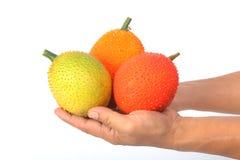Hand holding Gac fruit, Baby Jackfruit Royalty Free Stock Image