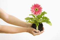 Hand holding gerber daisy. Stock Photo