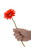 Hand holding gerbera flower Royalty Free Stock Photography