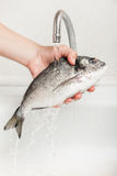 Hand holding gilthead fish food Royalty Free Stock Images