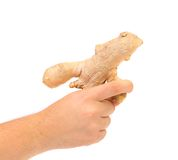 Hand holding ginger root Stock Image