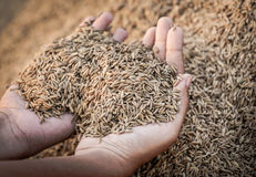 Hand holding golden newly harvested paddy seeds Stock Image